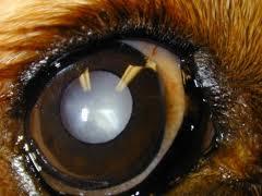 犬の白内障眼